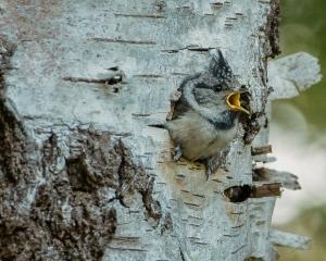 Kuifmees-jong in nest