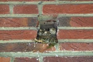 Bonte vliegenvanger-nest in muur