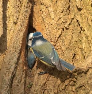 Pimpelmees voert jong in nest