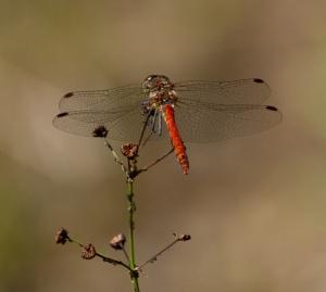 Bruinrode heidelibel op pijlkruid