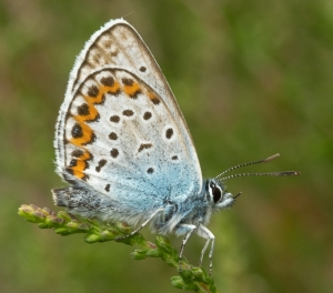 Heideblauwtje  (mannetje)
