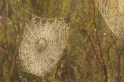 spinnenweb bedauwd