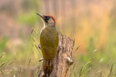Groene specht (foto van de maand juni 2020, Vogelbescherming)