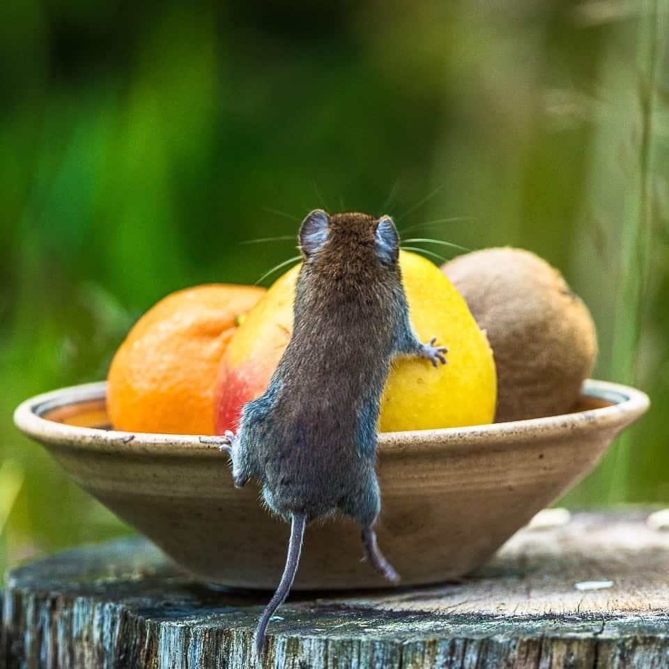 Veldmuis bij fruitschaal