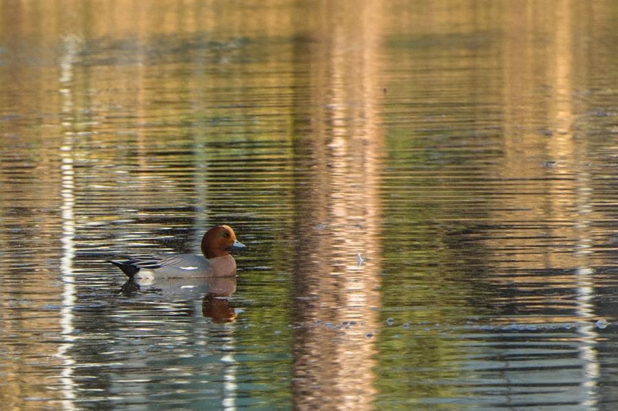 Smient in spiegelend water