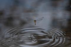 Bruinrode heidelibel (eierleggend)