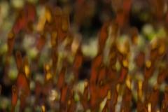 Ruig haarmos sporenkapsels (onscherp bij avondlicht)