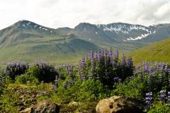 Lupines voorbesneeuwde bergen