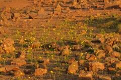 Boterbloemen tussen lavabrokken bij laagstaande zon
