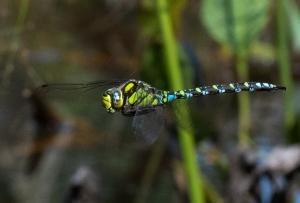 Blauwe glazenmaker  (mannetje)