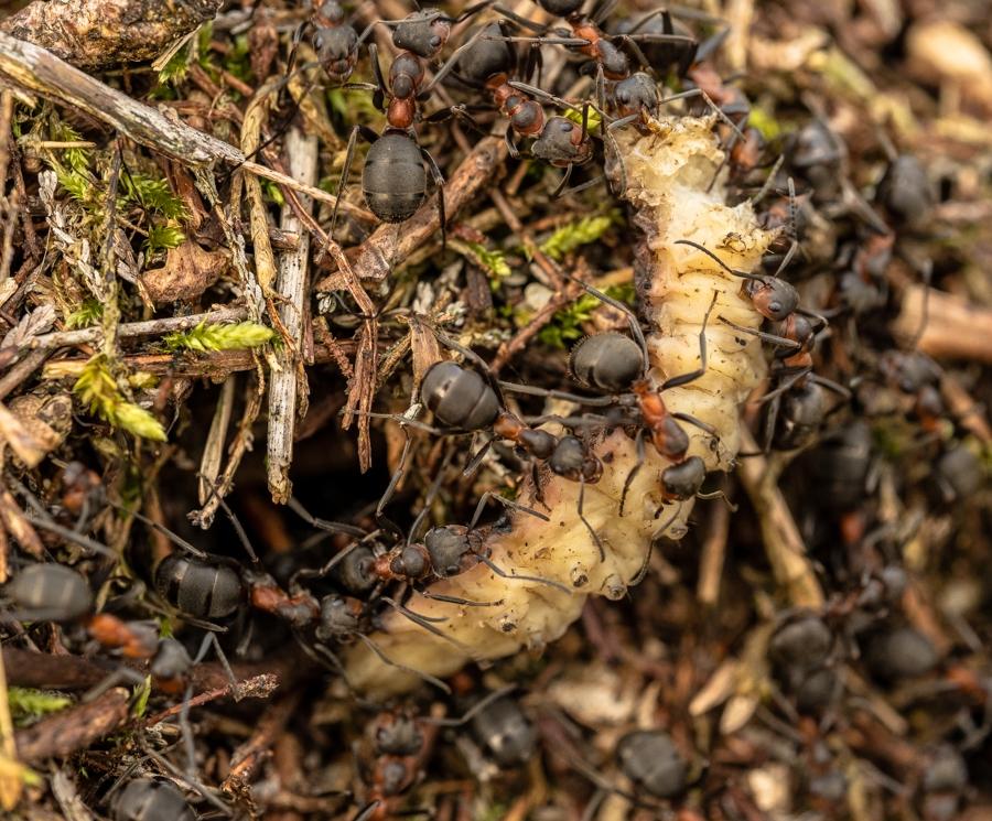 Rode bosmieren slepen rups in nest