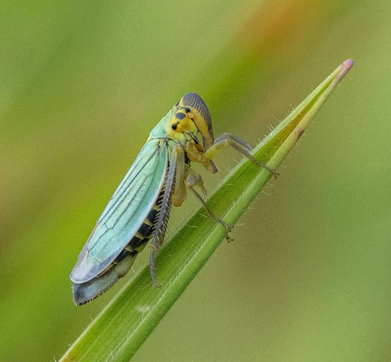 Groene rietcicade