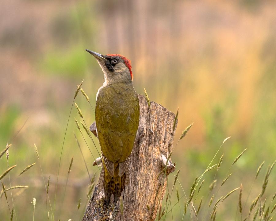Groene specht (foto van de maand juni 2020 Vogelbescherming)