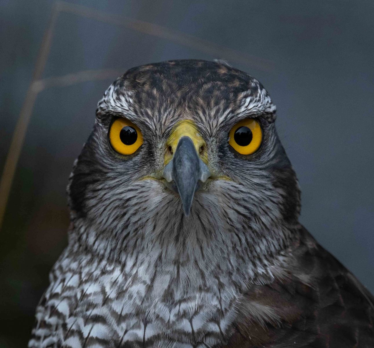 Havik close-up