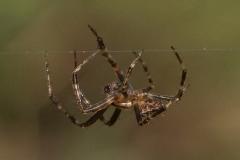 Viervlekwielwebspin mannetje