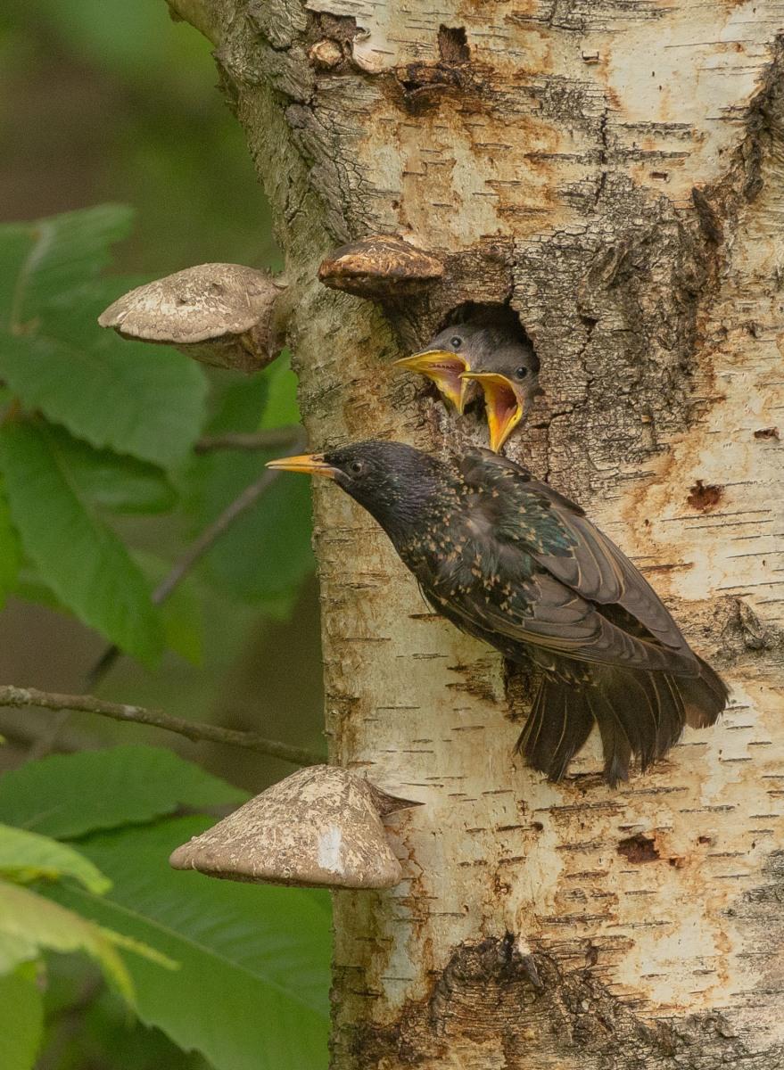 spreeuwenjongen-in-nestopening-2-van-2