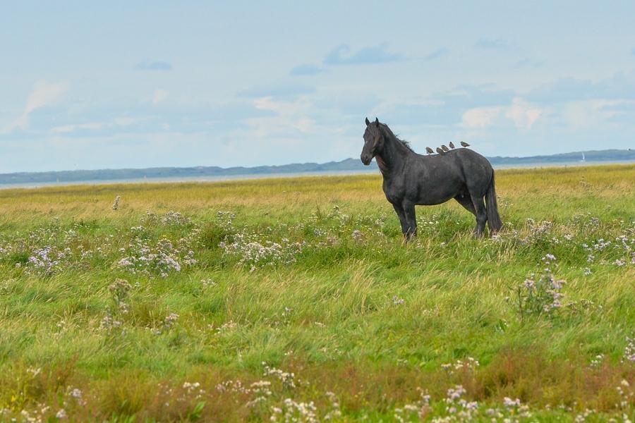 Fries kwelderpaard met spreeuwen op zijn rug-1