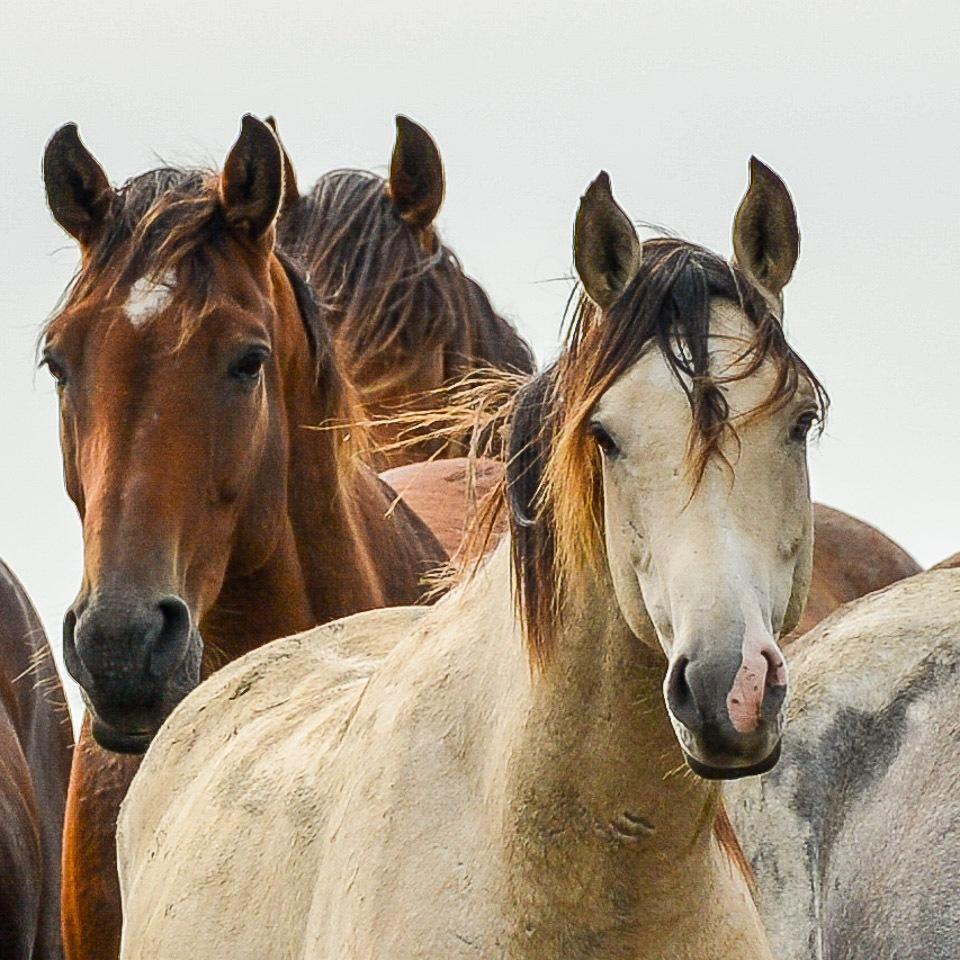 Kwelder-paarden Friesland