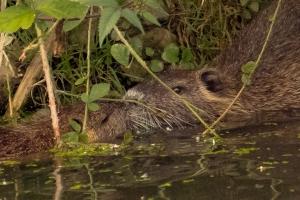 Otter-stelletje, zoenend