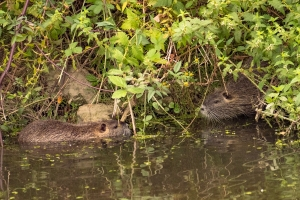 Otter-stelletje
