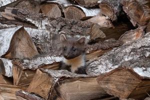 Jonge boommarter in houtstapel