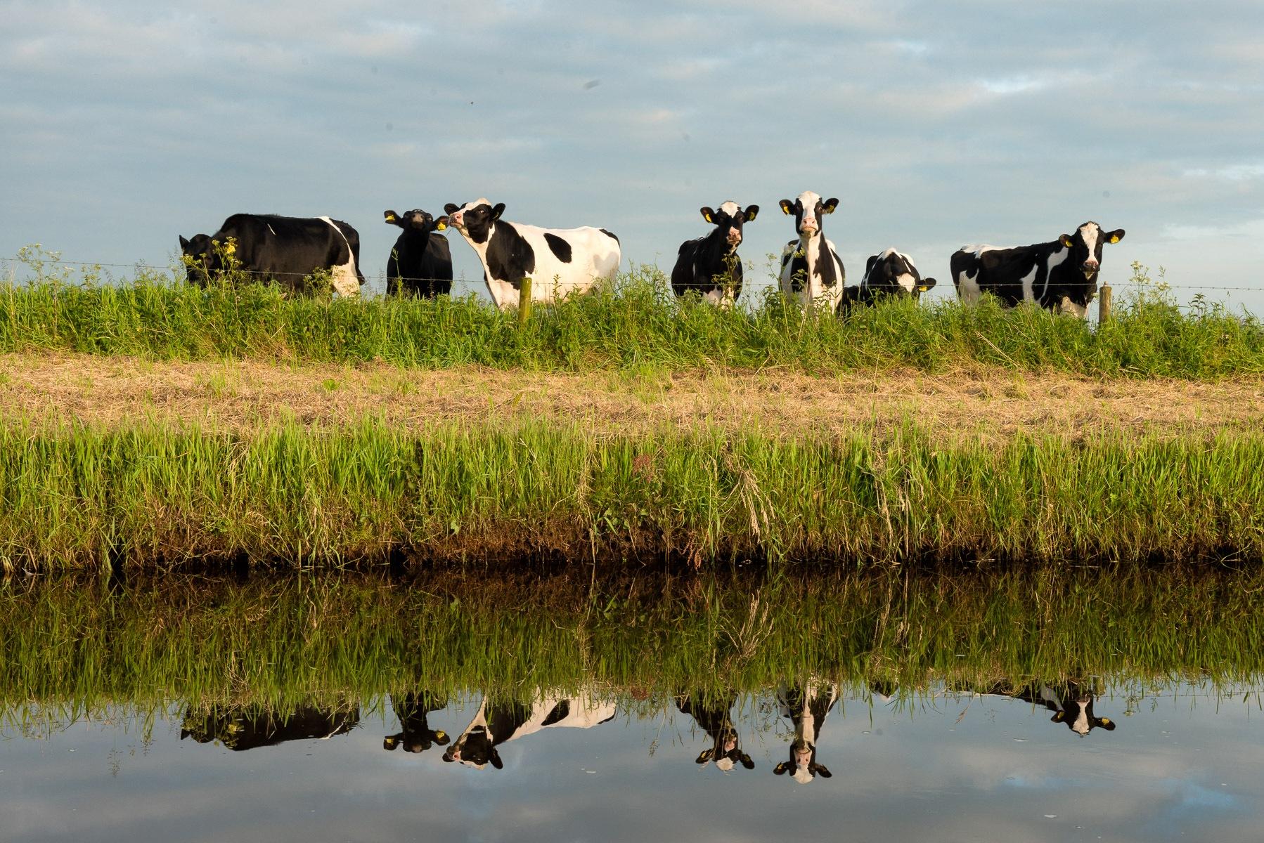Koeien in spiegelbeeld
