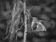 Grauwe vliegenvanger verzamelt nestmateriaal