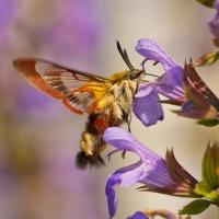 Wespvlinder op Salie.jpg